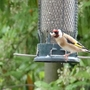 Goldfinch in a neighbour's garden.