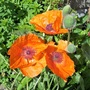 Bright orange poppies