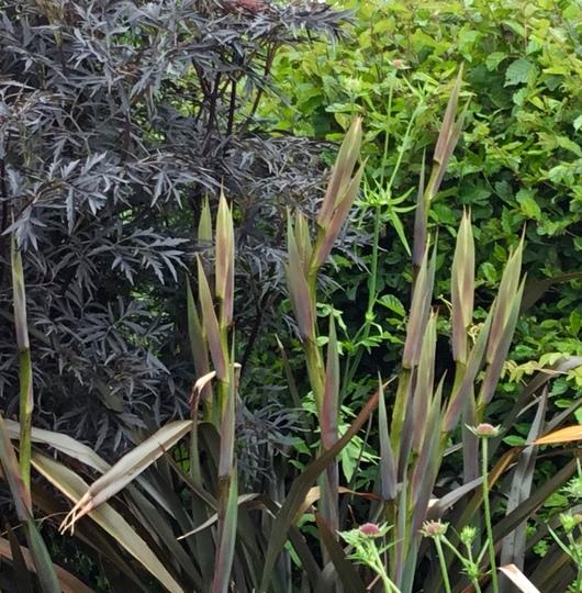 Flower stems on my Phormium 'Platt's Black'.  (Phormium tenax (New Zealand flax))