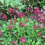 Astrantia 'Hadspen Blood' (Astrantia major (Masterwort))