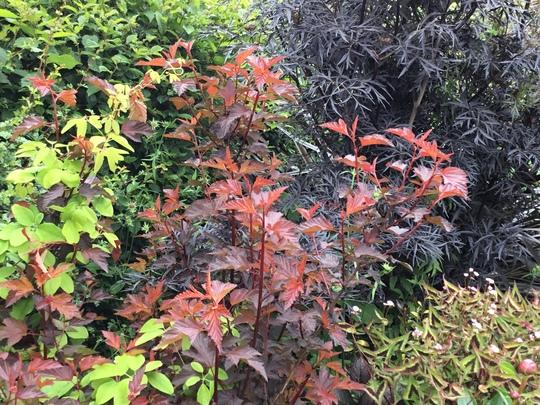 Physocarpus 'Diable D'Or'