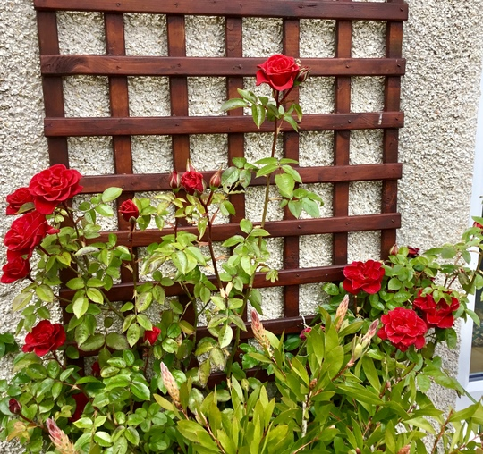 Climbing Rose 'Love Knot'