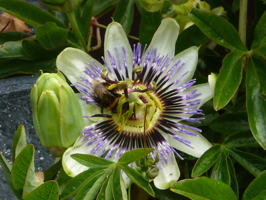 Passiflora caerulea     White Lightning