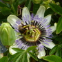 Passiflora_caerulea_white_lightning.2