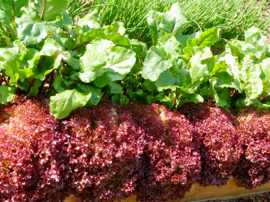 Lettuce  Beetroot Spring Onions