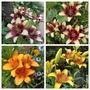 Hybrid Lilies (Lilium)