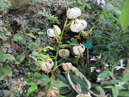 Lilium martagon Alba (Update) (Lilium martagon Alba)