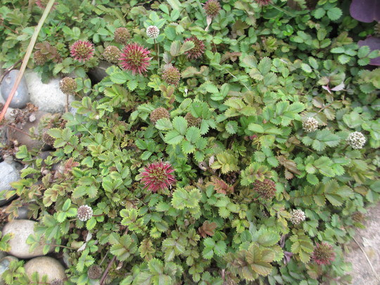 Acaena 'Copper Carpet' (For my File) (Acaena microphylla (New Zealand burr))