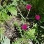 Cirsium rivulare 'Atropurpureum' - 2019 (Cirsium rivulare 'Atropurpureum')