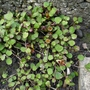 Fuchsia procumbens - 2019 (Fuchsia procumbens)