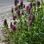 Trifolium rubens - 2019 (Trifolium rubens)