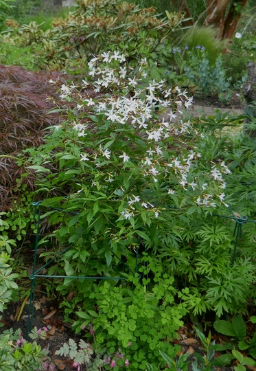 Gillenia trifoliata - 2019 (Gillenia trifoliata)