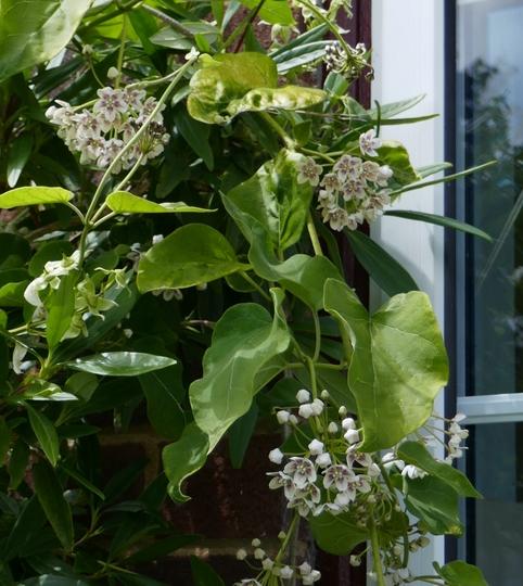 Dregea sinensis - 2019 (Dregea sinensis)