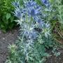 Eryngium x zabelii 'Big Blue' - 2019 (Eryngium x zabelii)