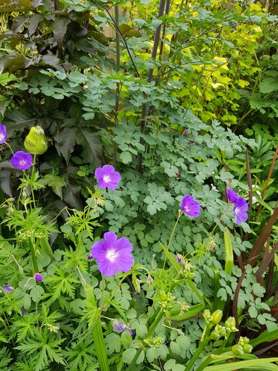 Thalictrum Elin and HG Orion. (Thalictrum Elin..)