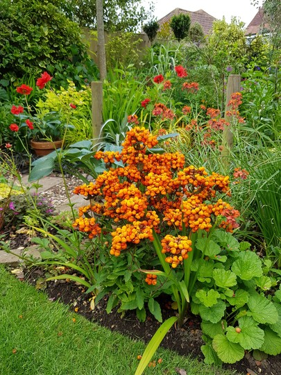 🍊 Orange and lemon border... (Calceolaria..)