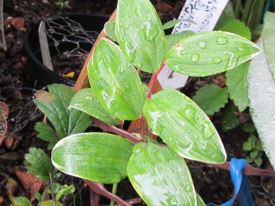 Polygonatum odoratum variegatum (For my File) (Polygonatum odoratum variegatum)