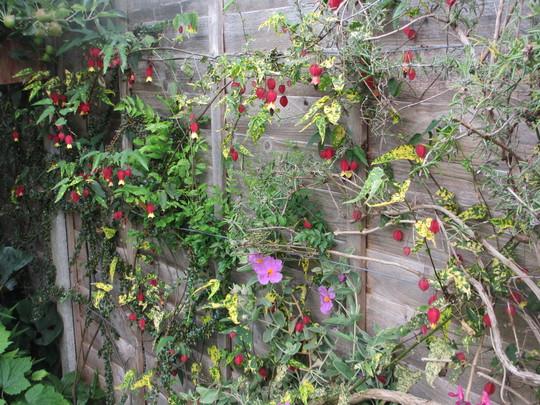 Abutilon megapotamicum variegata (Update) (Abutilon megapotamicum variegata)