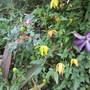 More Clematis (Clematis venosa violacea)