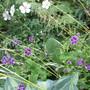 Two Geraniums & 2 Hostas (Geranium nodosum (Hardy geranium))