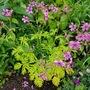 Geranium Maderense... (Geranium maderense (Cranesbill))
