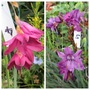Dierama  (Dierama (Angel's fishing rod))