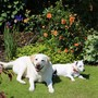 2 Happy Dogs In The Sunshine