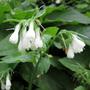 Hosta Bell Flowers