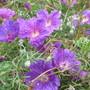 Geranium incanum (Geranium incanum)