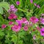 Geranium Patricia with Palmatum and Astrantia... (Geranium Patricia..)
