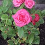 Patio rose