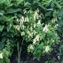 Phygelius 'Yellow trumpet' (Phygelius aequalis (Cape fuchsia))