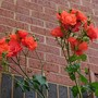 Climbing Woolworth Rose