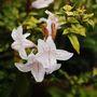 Mackaya bella (Mackaya bella)