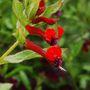 Cuphea llavea (Cuphea llavea (Cuphea))