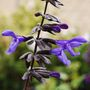 Salvia 'Black and Bloom' (Salvia guaranitica)