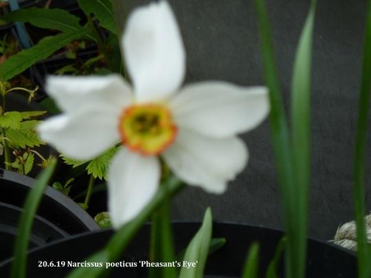 Narcissus poeticus 'Pheasants Eye'