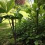 Arisaema triphyllum - Amy, Lori
