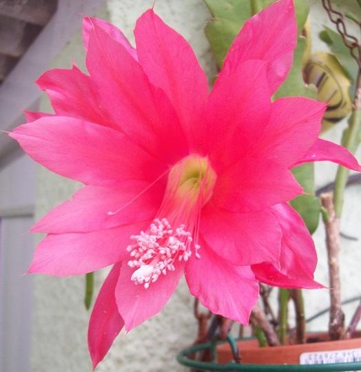 Flowering cactus - Epiphyllum