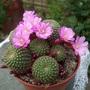 Flowering cactus - Rebutia perplexa