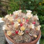 Flowering cactus - Mammillaria prolifera