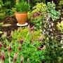 Perennial Trifolium Rubens.....for Hywel