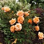 1/4 standard rose 'Brilliant sweet dreams'