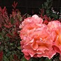 Rosa Compassion infront of 'Pink Marble' Photynia.
