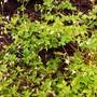 Geranium Oxonianum Sherwood.