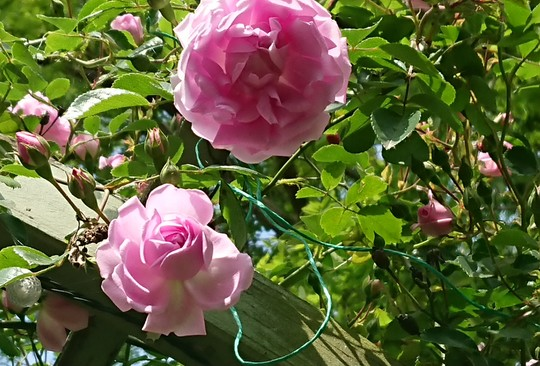 Close up of Rose over the arch.