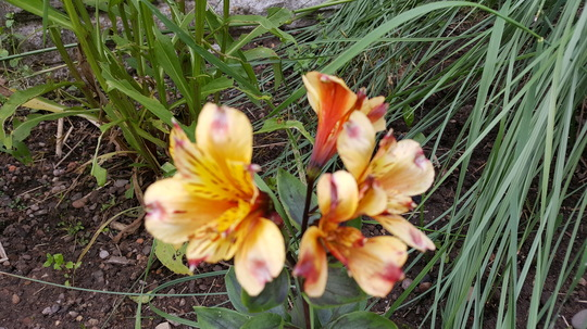 Alstroemeria Summer Breeze