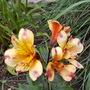 Alstroemeria Summer Breeze