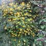 A Floral Wall (Hypericum)