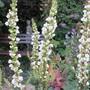 Verbascum chaixii (Vebascum chaixii)